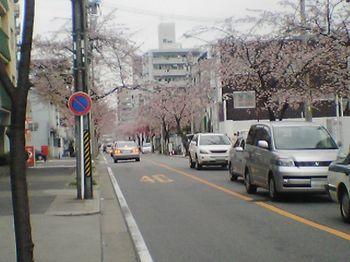 寒桜1.jpg